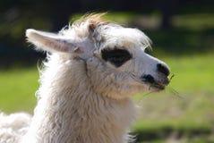 Lama alpacas Stock Photography