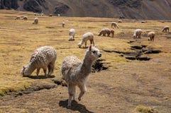 Lama alpaga w Andes górach, Peru, Ameryka Południowa Obrazy Stock