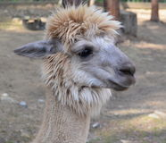 Lama, also known as the South American camels, Lower Austria Royalty Free Stock Image