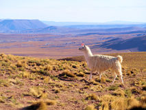 Lama on the altiplano Royalty Free Stock Photo