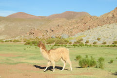 Lama at altiplano Stock Images