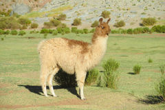 Lama at the altiplano Royalty Free Stock Images