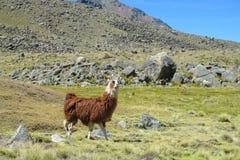 Lama at the altiplano Royalty Free Stock Photos