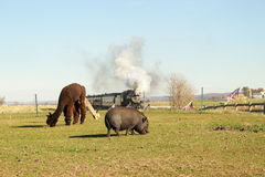 Lama in Amish Country Royalty Free Stock Images