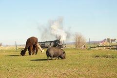 Lama in Amish-Land royalty-vrije stock afbeeldingen