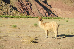 Lama. In the Andes beautiful altiplano landscape near mountain Royalty Free Stock Photo