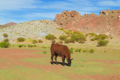 Lama. In the Andes beautiful altiplano landscape near mountain Stock Photography