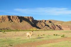 Lama at altiplano. Lama in the Andes beautiful altiplano landscape near mountain Stock Photo
