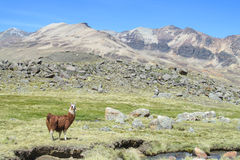 Lama in the Andes. Furry llama on green meadow near the Andes snow capped peak Royalty Free Stock Photo