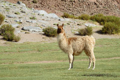 Lama in the Andes Stock Photography