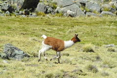 Lama in Andes mountain Royalty Free Stock Photography