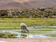 Lama in the Andes Royalty Free Stock Photo
