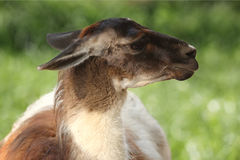 Lama animal. Over green background Royalty Free Stock Images