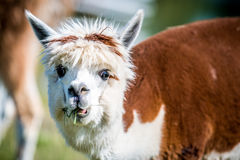 Lama animal eating grass. Funny expression Stock Image