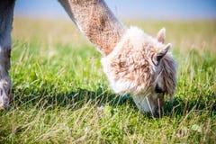 Lama animal eating grass Royalty Free Stock Photography