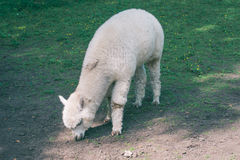 Lama animal Royalty Free Stock Images
