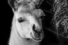 Lama 1. After animal food good grass lama meal sleeping sliping wild Royalty Free Stock Photography