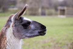 Lama animal. Grazing on the meadow Royalty Free Stock Photography