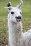 Lama animal. Grazing on the meadow Royalty Free Stock Images