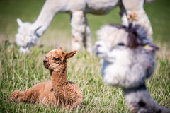 Lama animal in a group Stock Photo
