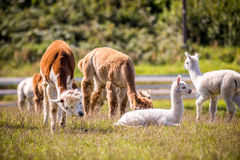 Lama animal in a group Stock Image