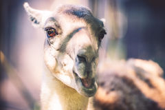 Lama animal Stock Image