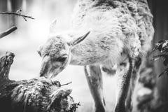 Lama animal Stock Photography