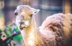 Lama animal Stock Images