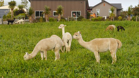 Lama animal Stock Photography