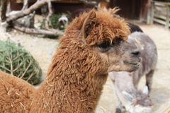 Lama animal zoo stock photography