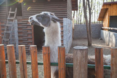 Lama animal in the ZOO Stock Images