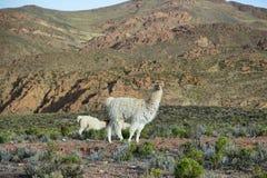 Lama in Argentina del Nord Immagini Stock Libere da Diritti