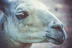 Lama au zoo photographie stock libre de droits