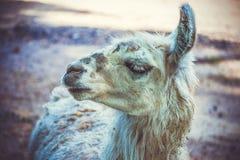 Lama au zoo photo libre de droits