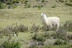 Lama auf dem Feld Lizenzfreies Stockfoto