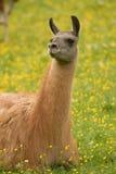 Lama auf dem Gras Lizenzfreies Stockfoto