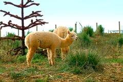 Lama auf einem Gebiet Lizenzfreies Stockbild