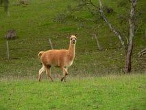 Lama in Australië Stock Foto's