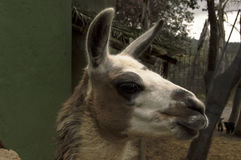 Lama av Anderna Amerika Arkivbild