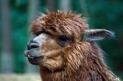 Lama avec les dents courbées Photo libre de droits