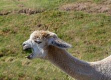 Lama avec une coupe de cheveux, plan rapproché Photographie stock libre de droits