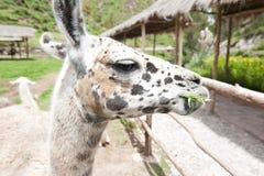 Lama-Bauernhof lizenzfreies stockfoto