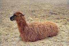 Lama. Beautiful brown lama is lying on the straw Royalty Free Stock Image