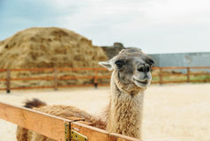 Lama is behind the fence. Stock Photo