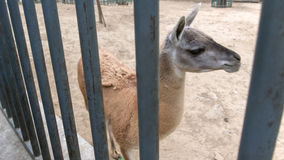 Lama. Behind fence in Beijing Zoo Stock Images