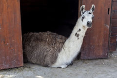 Lama behind fence in cage 02 Stock Photo