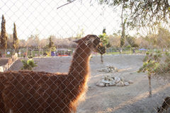 Lama behind the fence Royalty Free Stock Photo