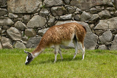 Lama bei Machu Picchu, Cuzco, Peru Lizenzfreie Stockfotos