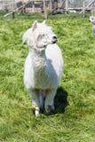 Lama bianca che pasce sull'erba, azienda agricola Fotografia Stock