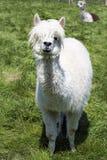 Lama bianca che pasce sull'erba, azienda agricola Fotografia Stock Libera da Diritti